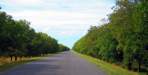 An avenue of walnut trees - towards Chisinau, Moldova