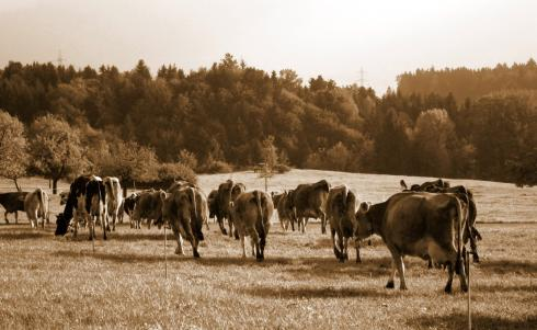 Grass + Swiss cows = the best chocolate in the world